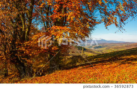 forest in red foliage on sunny autumn day 36592873