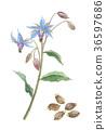 紫草科 花朵 花 36597686