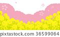 ดอกซากุระบาน,ซากุระบาน,ดอกเรป 36599064