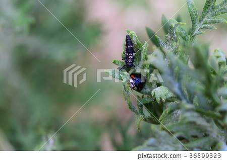 Ladybird and its larvae 36599323