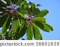 false daphne, arboreal, foliage 36601639