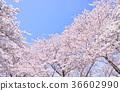 부드러운 느낌의 꽃 벚꽃 나무 36602990