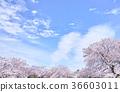 부드러운 느낌의 꽃 벚꽃 나무 36603011