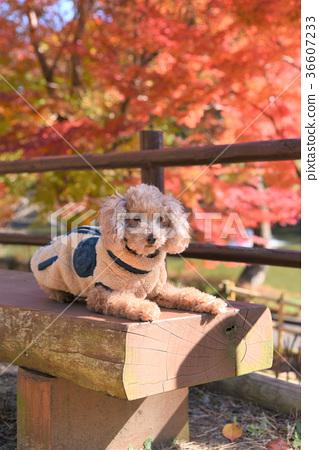 Pet's toy poodle 36607233