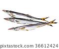 梭魚類 魚 水彩 36612424