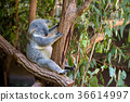 Sleeping koala on eucalyptus tree in Australia 36614997