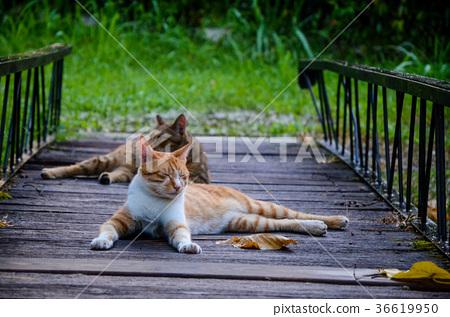 貓, 貓咪, wandering 貓 36619950