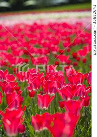 鬱金香 鬱金香花叢 花園 36632041