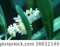 올리브 꽃 36632140