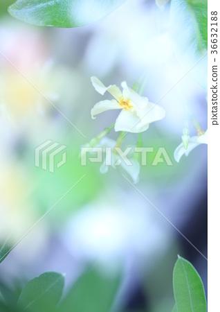 Asiatic Jasmine Asian Jasmine Flower Stock Photo 36632188 Pixta