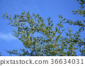 foliage, leaf, leafs 36634031