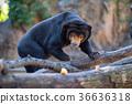 ueno, zoo, animal 36636318