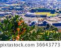 柑桔园 橘子 蜜柑 36643773