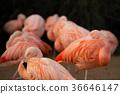 flamingo, flamingoes, flamingos 36646147