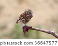 A little owl and a meat 36647577