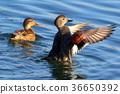 เป็ด,นก,โอซาก้า 36650392