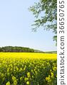 rape, rape blossoms, field of rapeseed 36650765