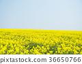 rape, rape blossoms, field of rapeseed 36650766