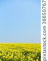 rape, rape blossoms, field of rapeseed 36650767
