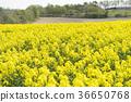 rape, rape blossoms, field of rapeseed 36650768