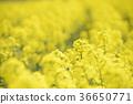rape, rape blossoms, field of rapeseed 36650771