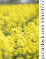 rape, rape blossoms, field of rapeseed 36650772