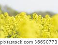 rape, rape blossoms, field of rapeseed 36650773