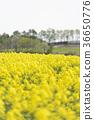 rape, rape blossoms, field of rapeseed 36650776