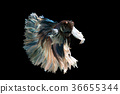 Big era siamese fighting fish on black background  36655344