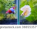 Fancy half moon Siamese fighting fishes quarreling 36655357