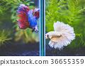 Fancy half moon Siamese fighting fishes quarreling 36655359