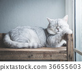 Cute short hair cat lying on old wood shelf  36655603