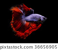 Fancy betta fish,Violet siamese fighting fish 36656905