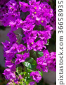 Mediterranean Bougainvillea bush  purple flowers 36658935