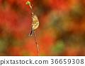 long-tailed rose finch, maple, yellow leafe 36659308