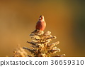 ต้นเมเปิล,โอซาก้า,นก 36659310