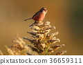long-tailed rose finch, maple, yellow leafe 36659311