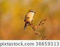 นก,โอซาก้า,สดใส 36659313
