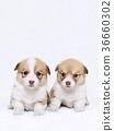 Corgi ลูกสุนัขน้องชายและน้องสาว 36660302