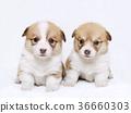 彭布洛克威爾士科基犬 柯基 威爾士矮腳狗 36660303