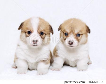 Corgi ลูกสุนัขน้องชายและน้องสาว 36660303