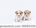 Corgi ลูกสุนัขน้องชายและน้องสาว 36660304