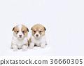 彭布洛克威爾士科基犬 柯基 威爾士矮腳狗 36660305