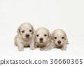 강아지 남매 36660365