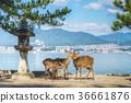 Deer on the island Itsukushima. Miyajima,  36661876