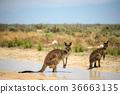 Two kangaroos cool down in Mungo National Park 36663135