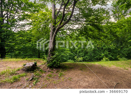 trees of deep ancient forest 36669170