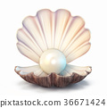 pearl shell 36671424