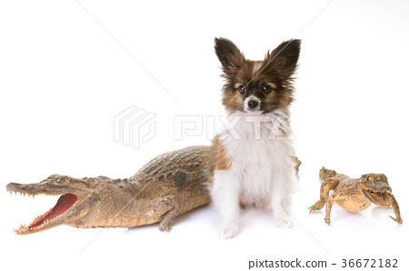 puppy pappillon dog and caiman 36672182