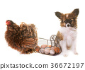 puppy pappillon dog and chicken 36672197